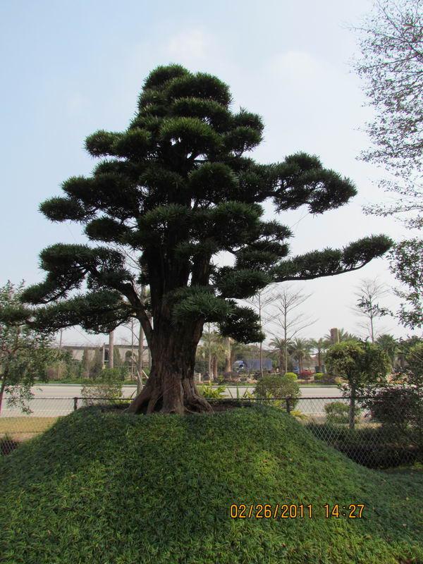 九里香树新闻 九里香树的病虫 九里香掉叶子